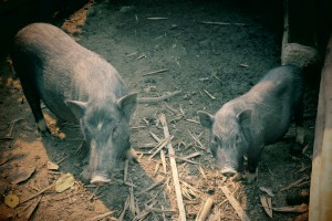 cochons à muang ngoi